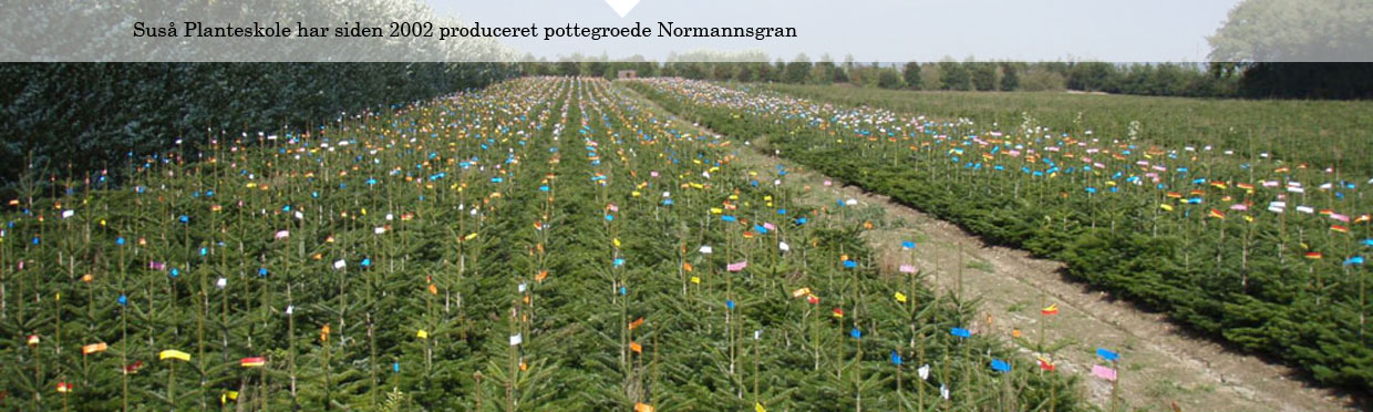 Pottegroede Normannsgran